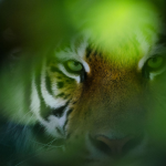 Eye of the Tiger (colour)