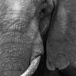 Ivory Smile (mono)
